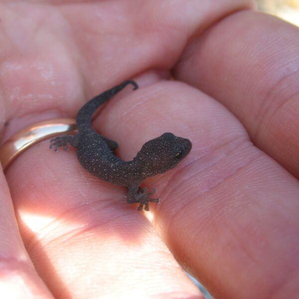 Tarantolino Gecko in Portovenere Liguria