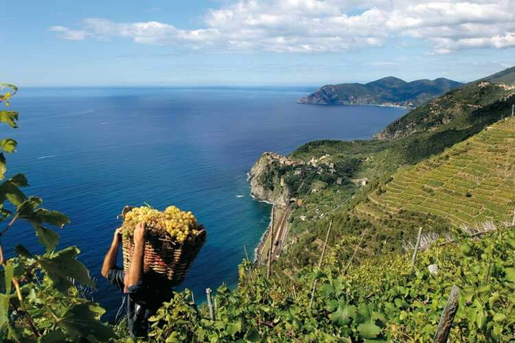 Grape Harvest in the Cinque Terre - photo from turismoinliguria.it