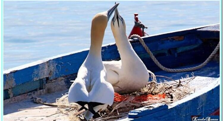 Portovenere's Mascots: seabirds nest on a fishing boat