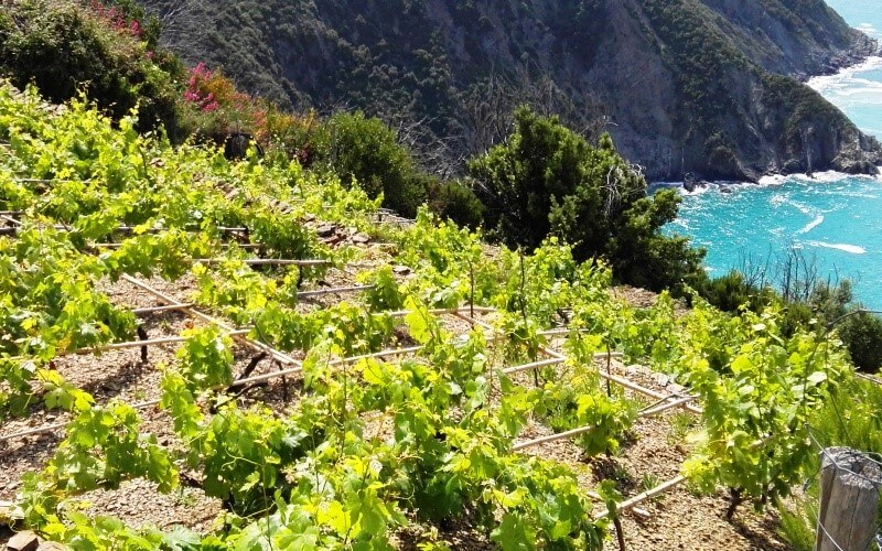 hiking in cinque terre vineyards
